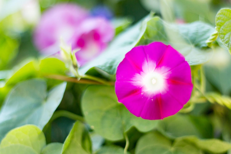 Flor de ipomea, campanilla o... V de Volver
